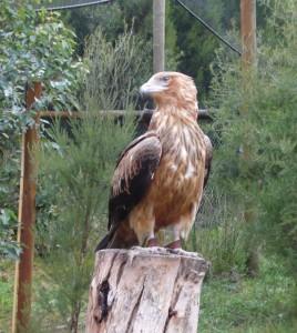 Aigle majestueux