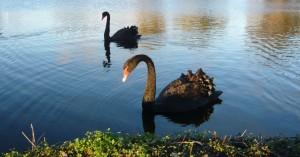 Black Swan (Cygne noir)