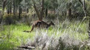 Kangourou dans son milieu (presque) naturel