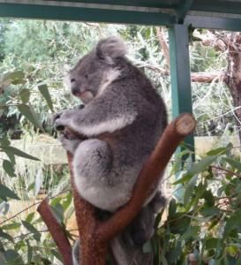 Koala réveillé (ou presque) (difficile de savoir)