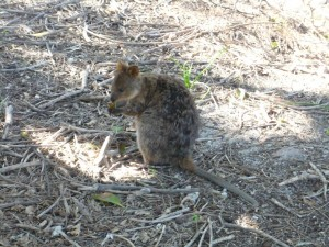 Quokka à table