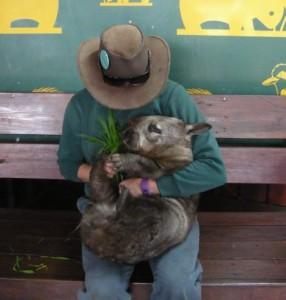Wombat apprivoisé